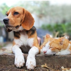 beagle-dog-and-brown-cat-lying-together-on-the-footpath-picture-id1008149440-min